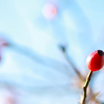 Frosty Rose Hips by Crevisio