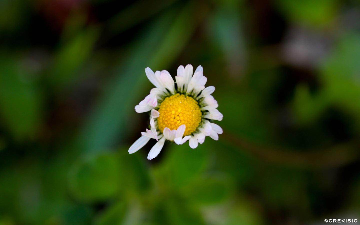 Floating Daisy by Crevisio