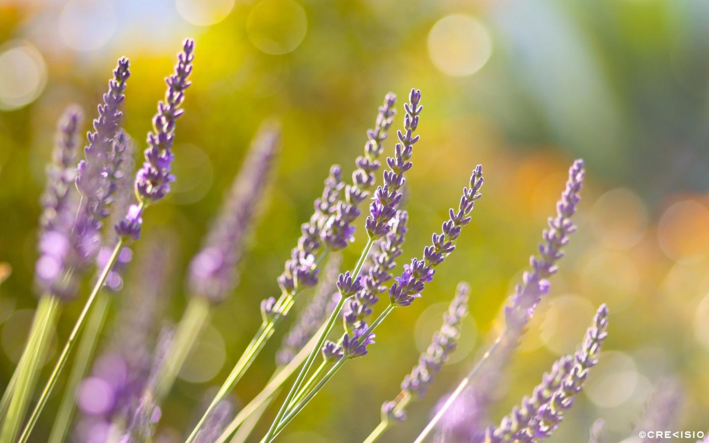 Early Lavender by Crevisio