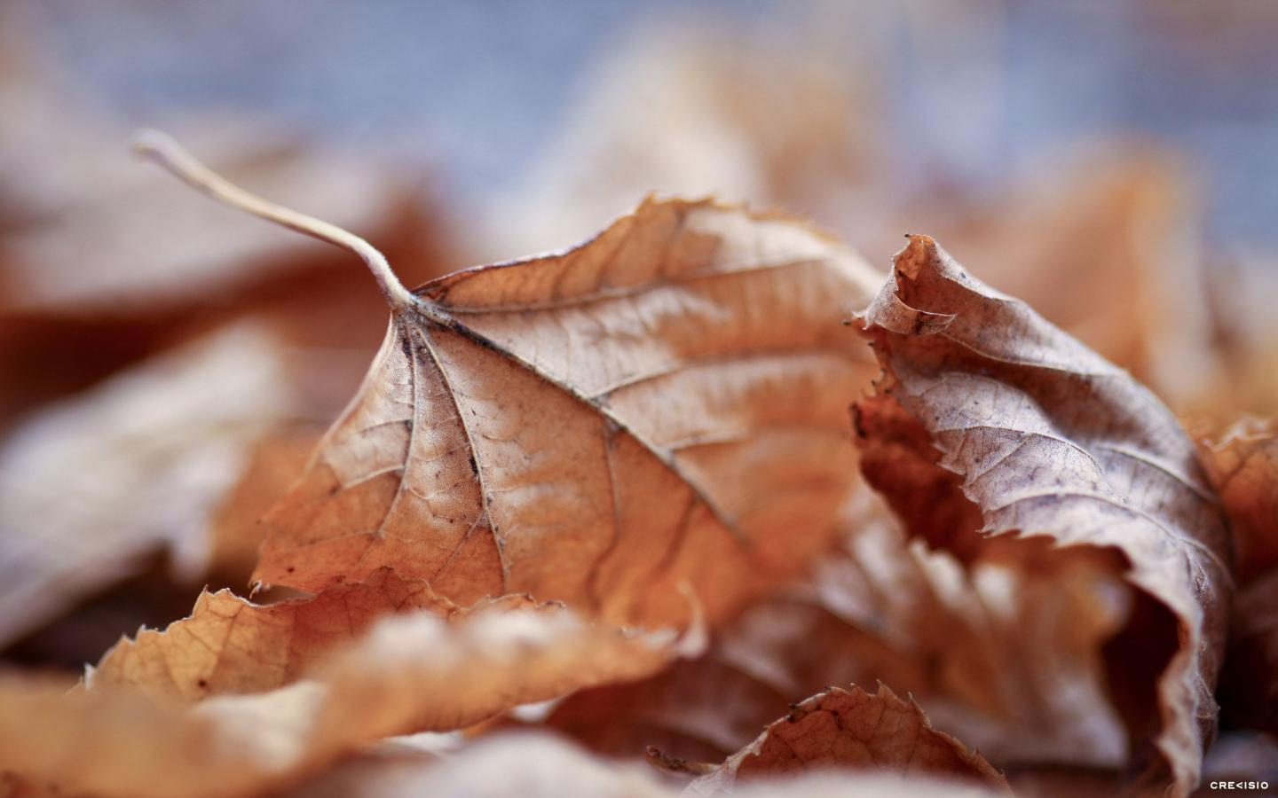 Fall Leaves by Crevisio