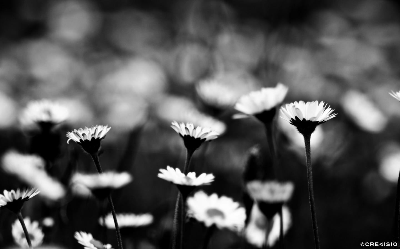 Black & White Daisy Field by Crevisio