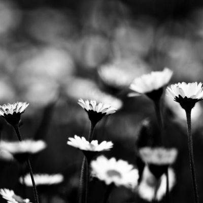 Black & White Daisy Field by Crevisio