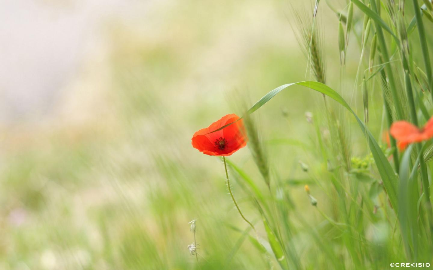 Lonely Poppy by Crevisio