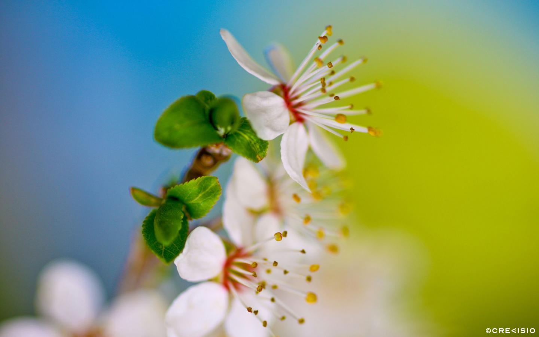 Cherry Blossom by Crevisio